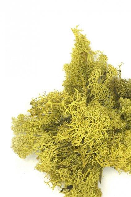 Lišejník barvený žlutý