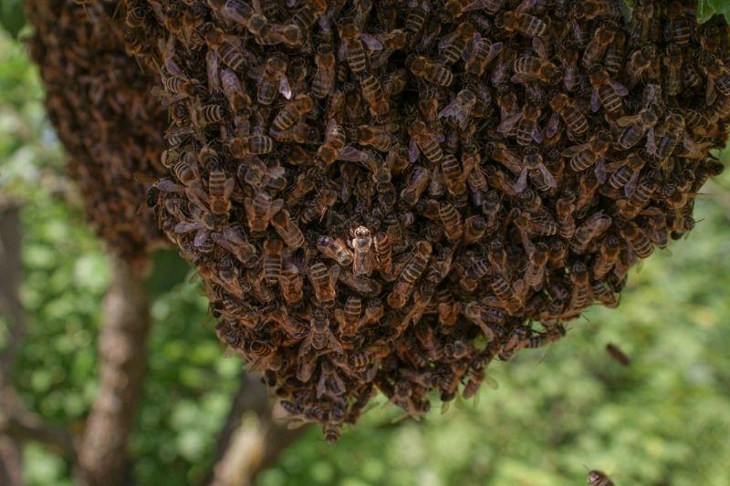 Zajímavosti o včelách III. Královna, dělnice a rojení