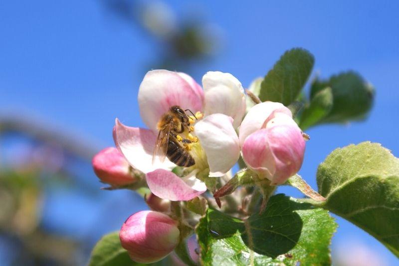 Zajímavosti o včelách II. Co musí včely udělat pro 1 kg medu