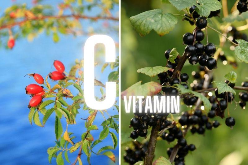 Rybíz, šípek a vitamín C