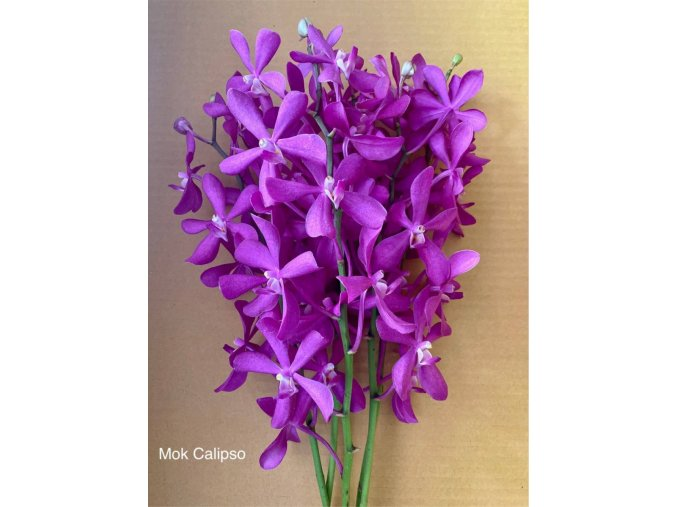 orchid mok calipso