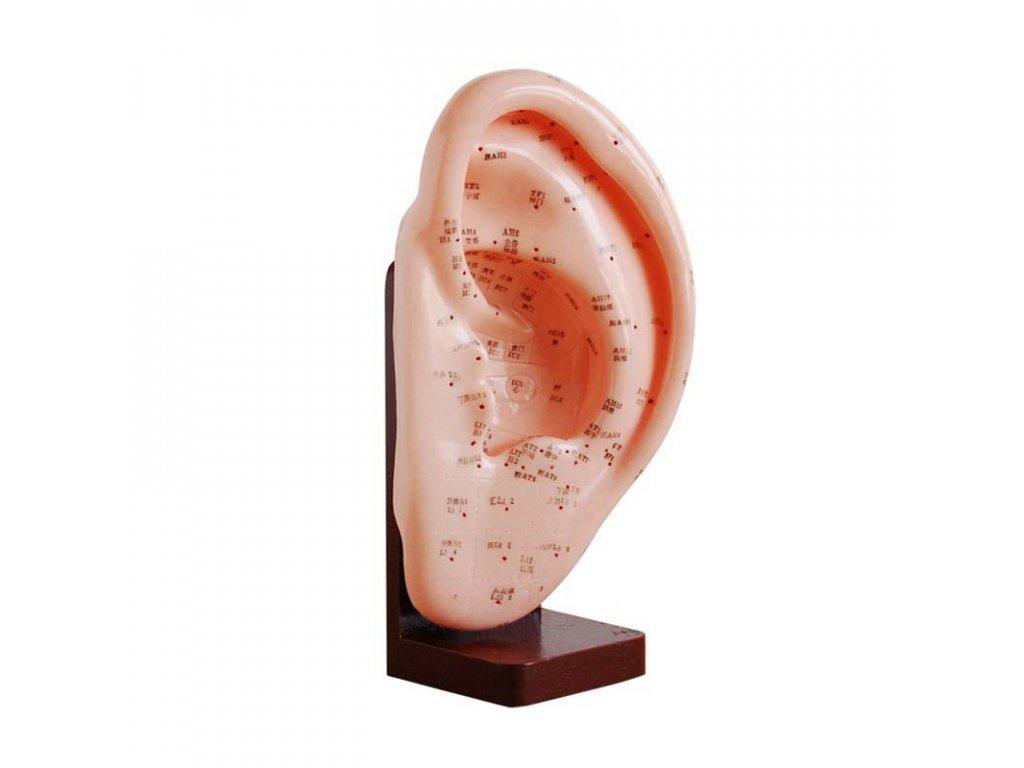 Akupunkturní model ucho - 1 ks, výška 22 cm.
