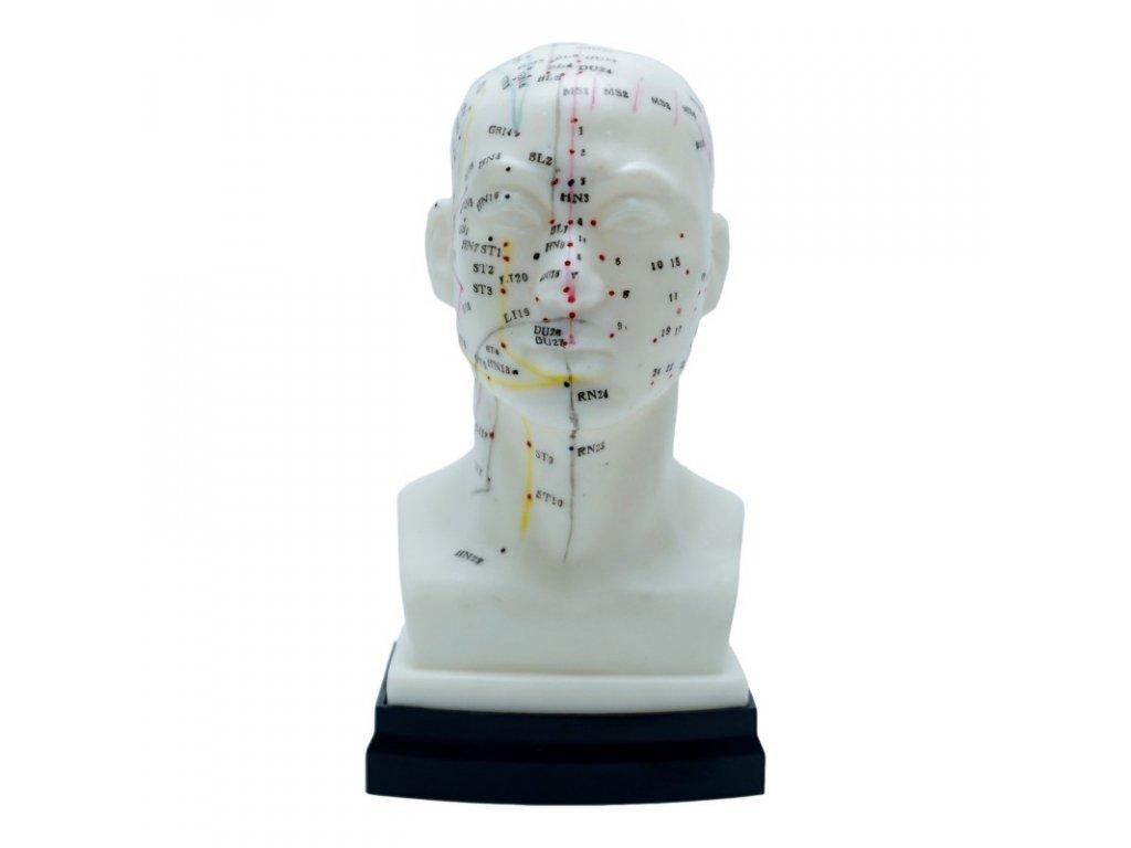 akupunkturni model hlavy 1
