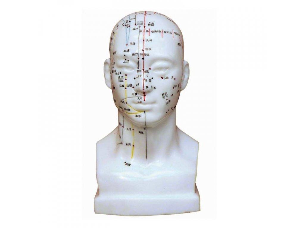 model hlavy 20cm