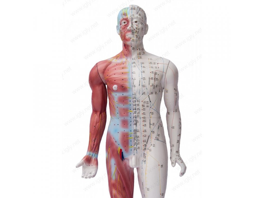 model cloveka 84 pol