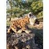 plyšová hijena