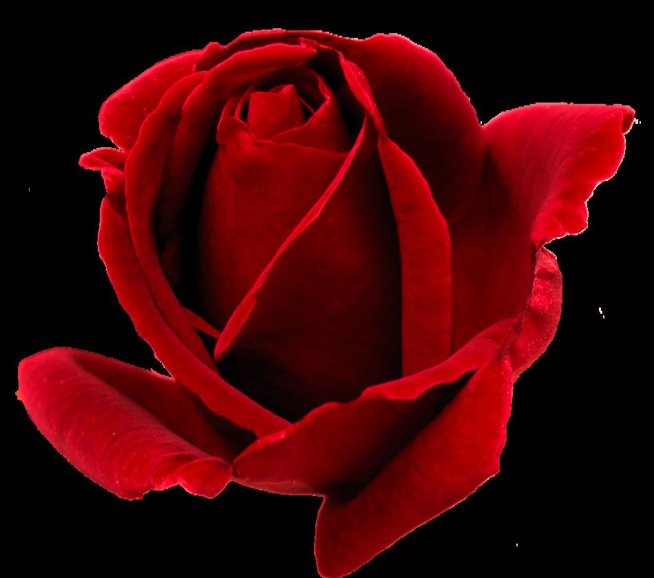 Valentýnské růže