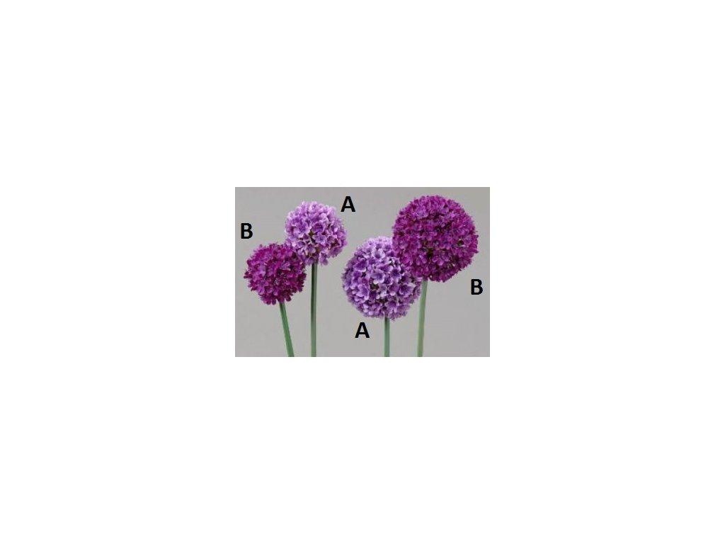 Česnek | Fialový | 66cm (Provedení A)