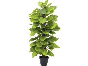 Rostlina Pothos | Europalms | Výška 125cm