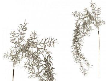 Asparagus převislý, stříbrná barva.