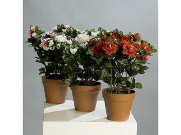 Azalka v květináči 33cm