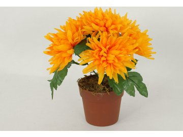 Chryzantéma v obalu | 6 hlavá | barva žlutá