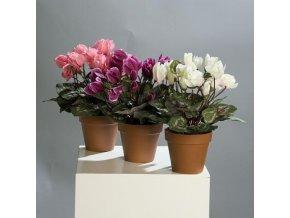 Brambořík v květináči 32cm