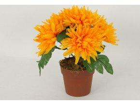 Chryzantéma v obalu   6 hlavá   barva žlutá