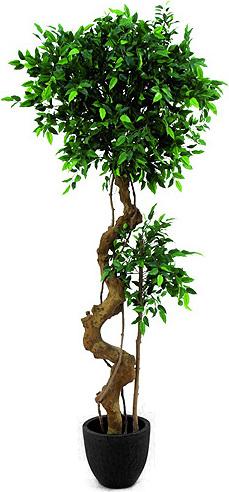 Fíkus | bonsai | Europalms | 170cm