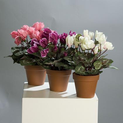 Brambořík v květináči 32cm Barva: růžová