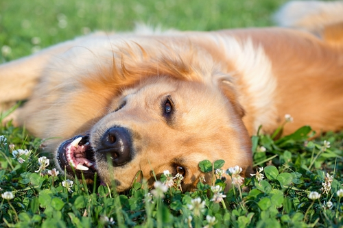 Ochrana psov proti kliešťom - časť 2.
