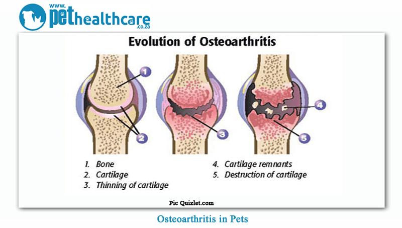 Osteoarthritis-in-pets-4