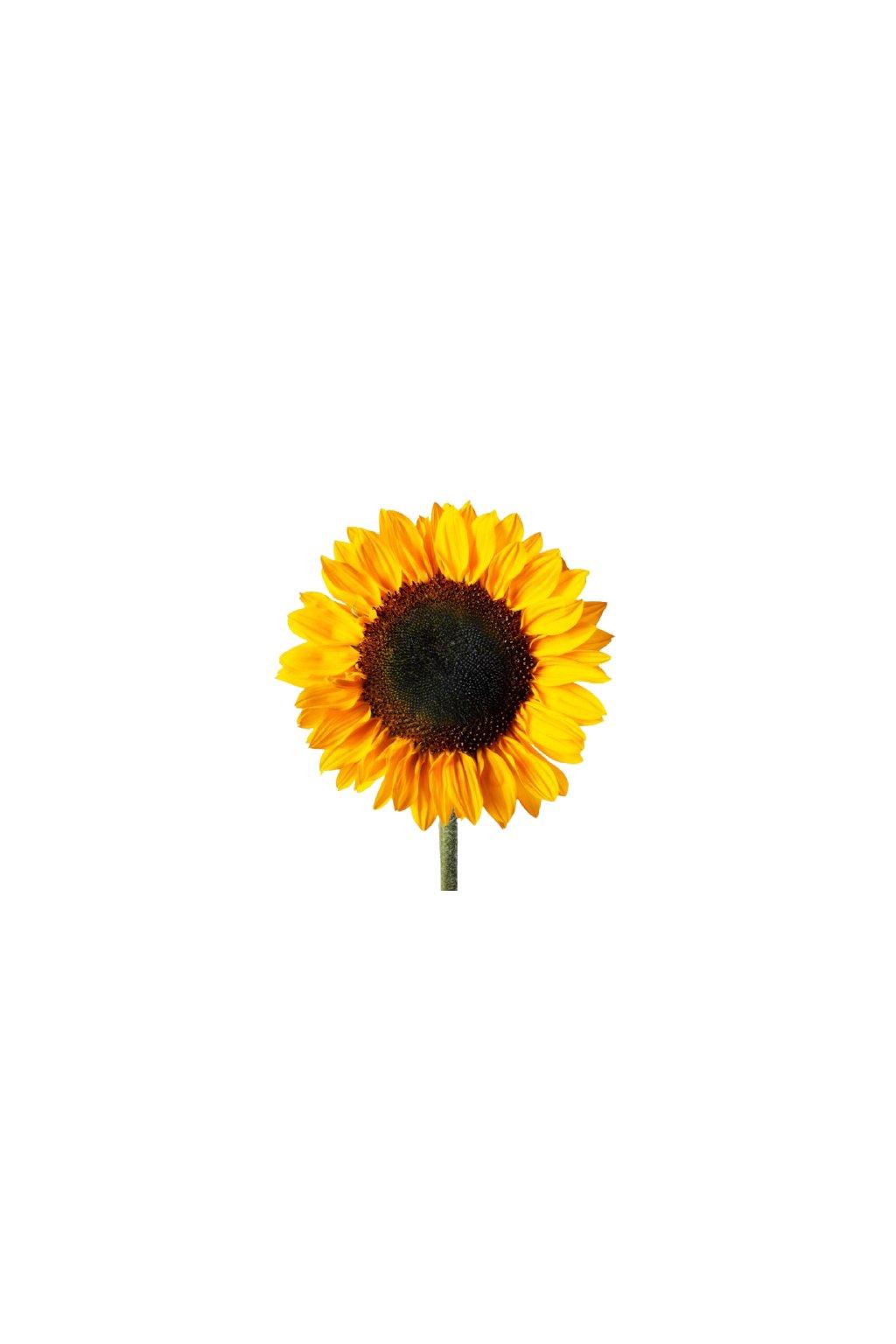 fbx sunflower single stem 1 removebg preview
