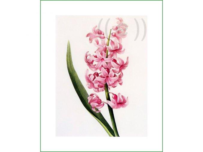 49 hyacint (1)