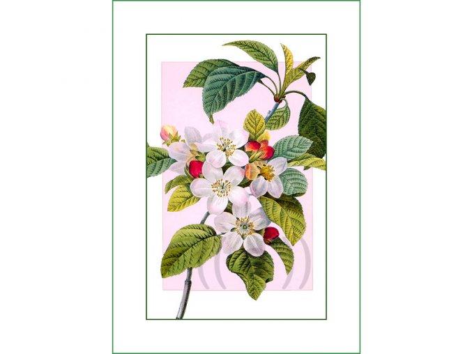 73 jabloňové květy (2)