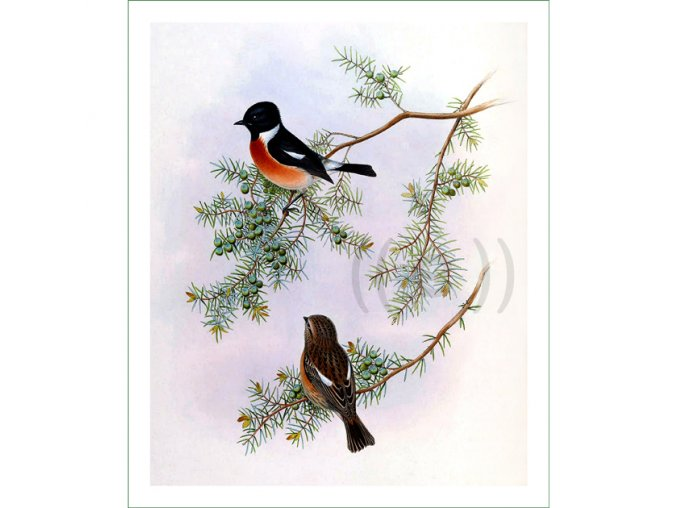 708 ptáci (28) H.C.Richter