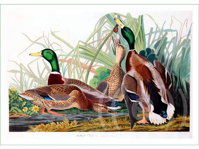 látkový panel ptáci ptáčci obraz na látce na šití na patchwork prodej látek VierMa kachny (2)