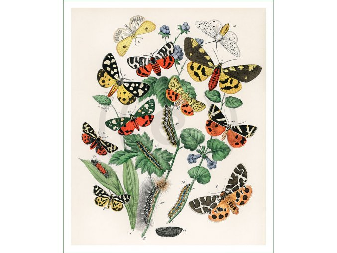 motýli (32)