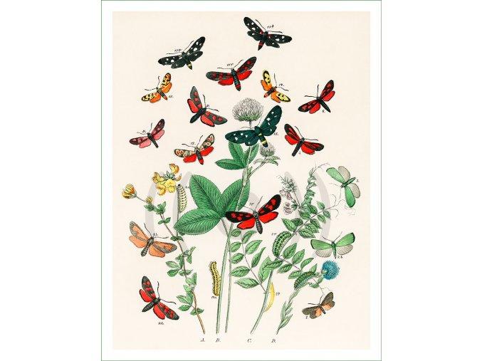 motýli (35)