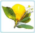 Cajeput_citron