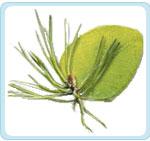 Eukalyptus_borovice