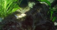 Černá štětičková řasa