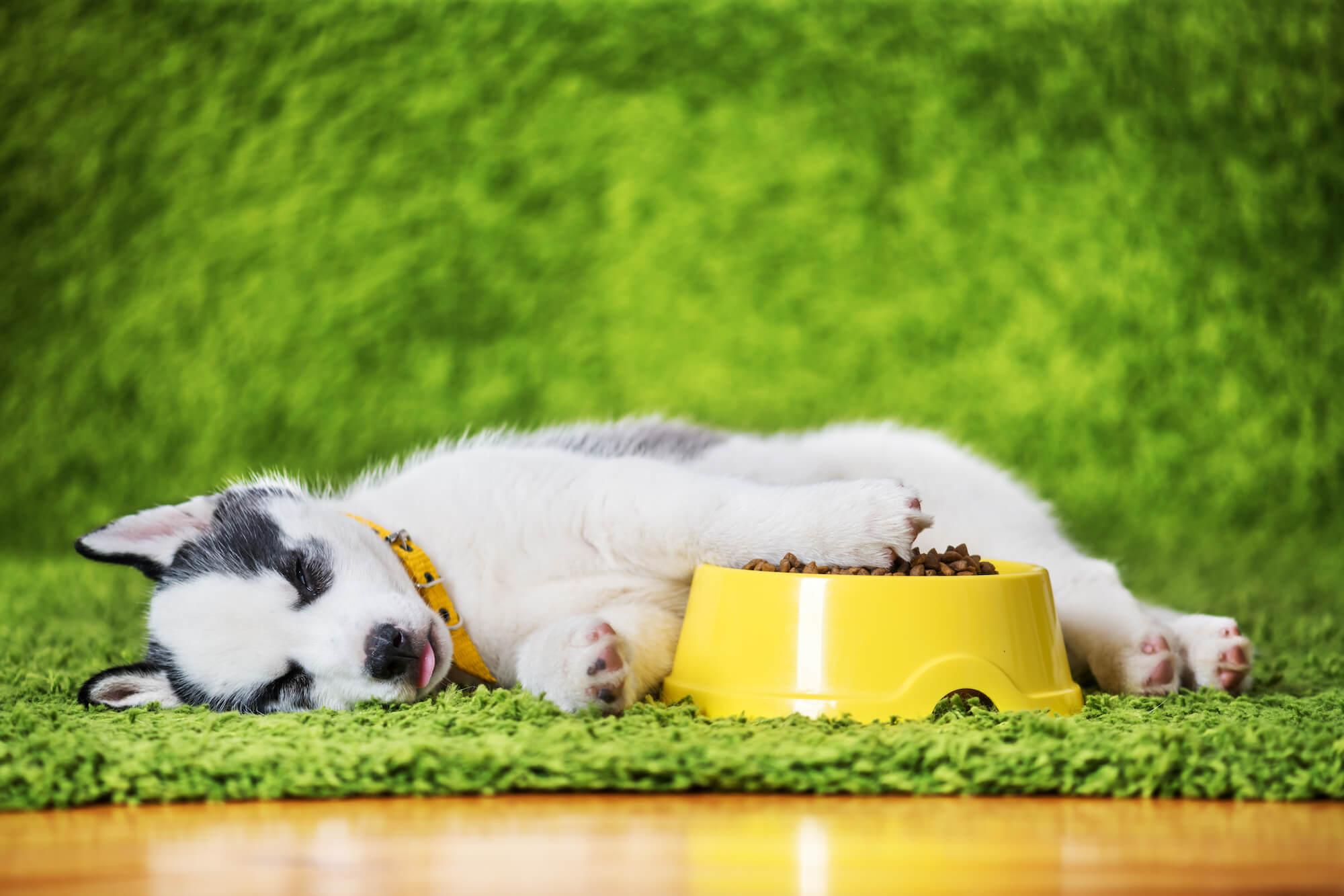 a-small-white-dog-puppy-breed-siberian-husky-YPWGBAT