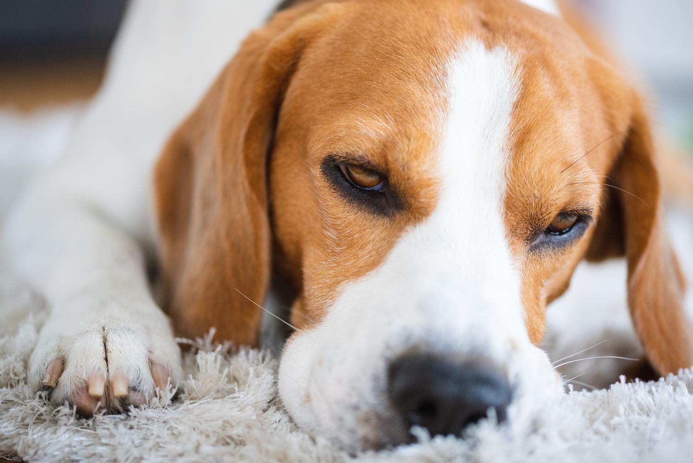 beagle-dog-close-up-on-a-carpet-falling-asleep-W6VR3PA