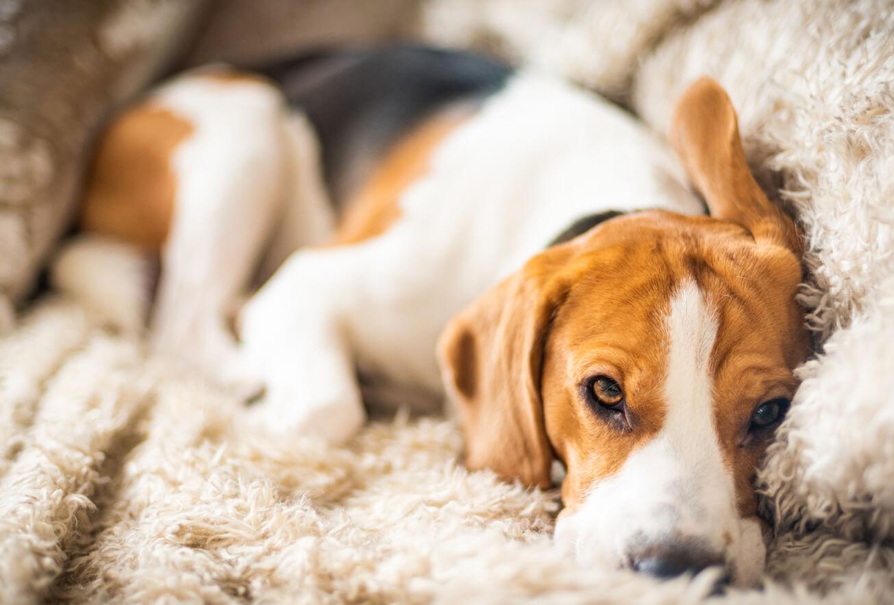 beagle-dog-resting-on-sofa-WUMFNDD