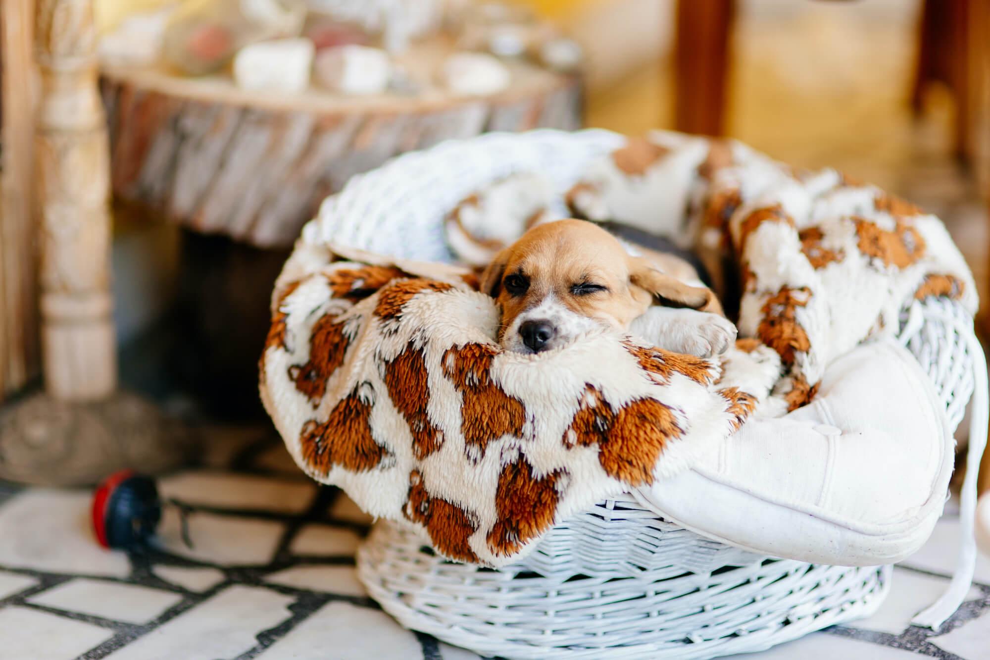 beautiful-beagle-puppy-RFKNQ2J