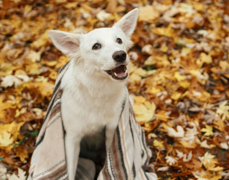 cute-dog-under-cozy-blanket-sitting-on-fall-leaves-4YFBX4B