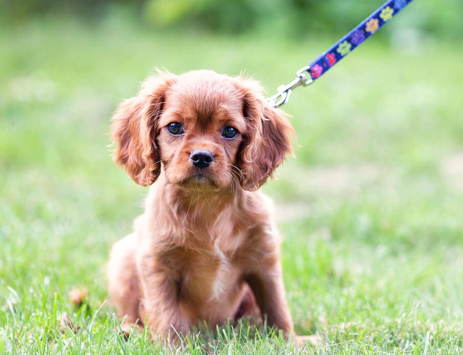 cute-puppy-on-the-leash-KWYLPB2