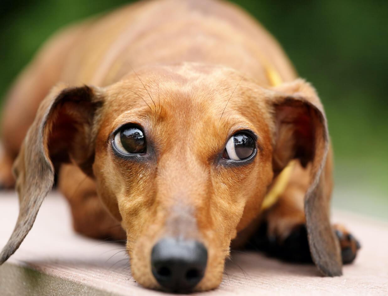 dachshund-dog-in-park-DNPNL6N
