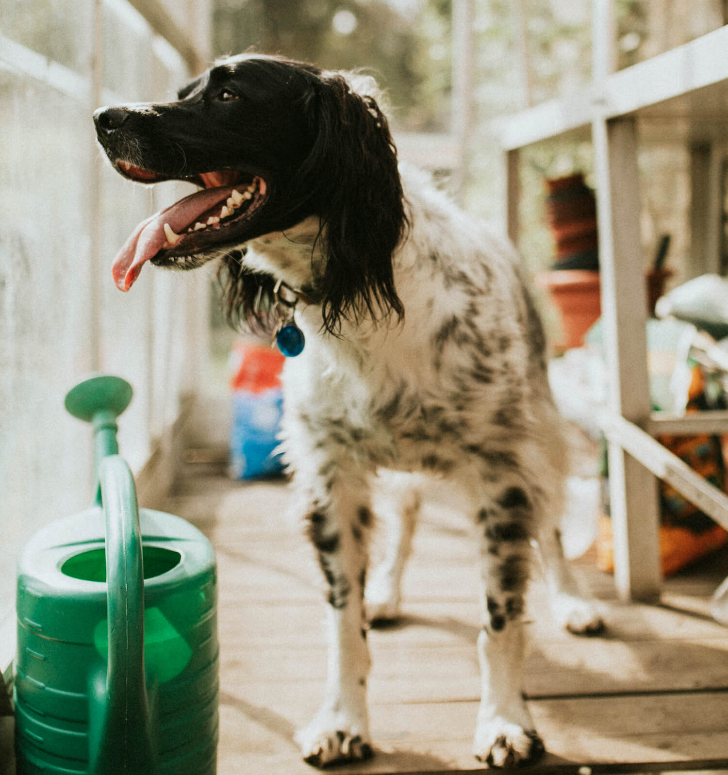 english-setter-dog-in-a-greenhouse-TVTH6VY