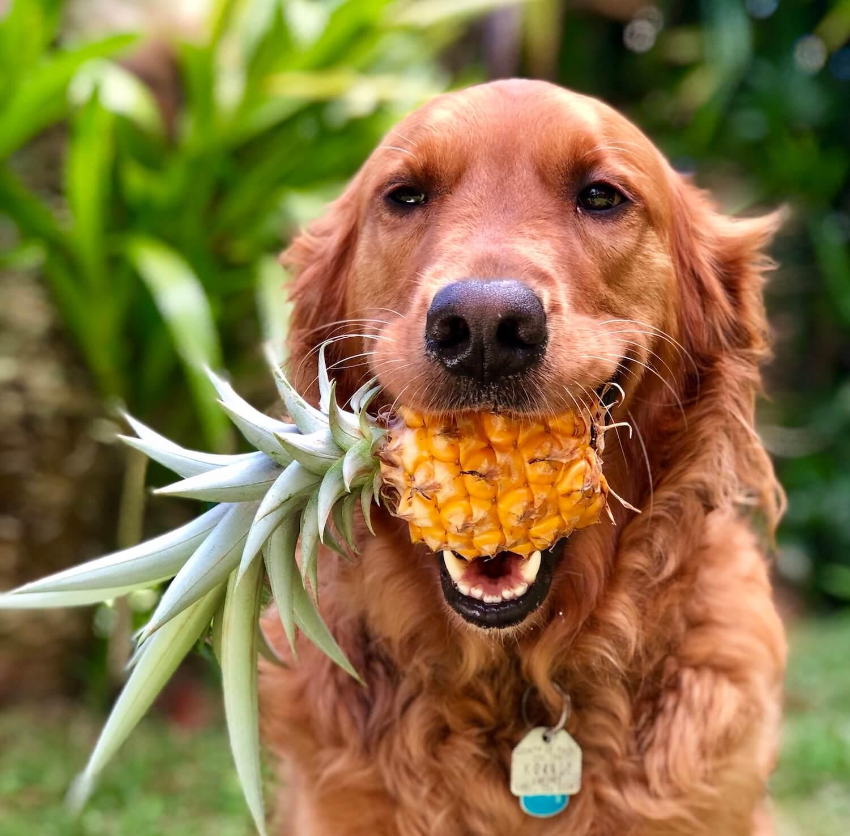 golden-retriever-dog-fetching-a-pineapple-UKZ2C7L