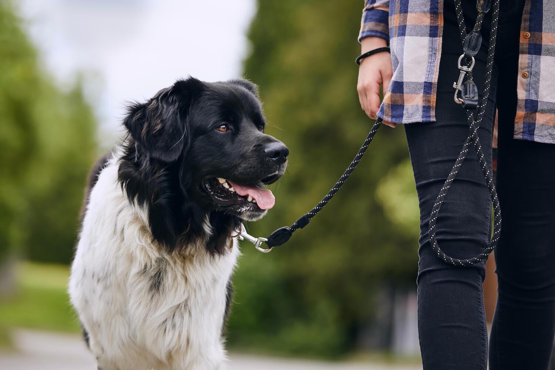 happy-czech-mountain-dog-walking-on-pet-leash-C3S6WHN-2