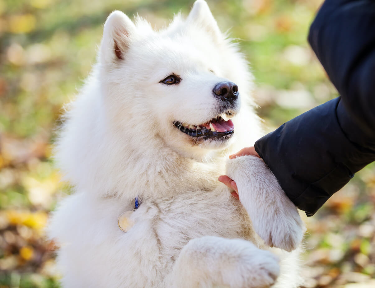 happy-samoyed-dog-giving-paw-to-owner-outdoors-WA4D37K