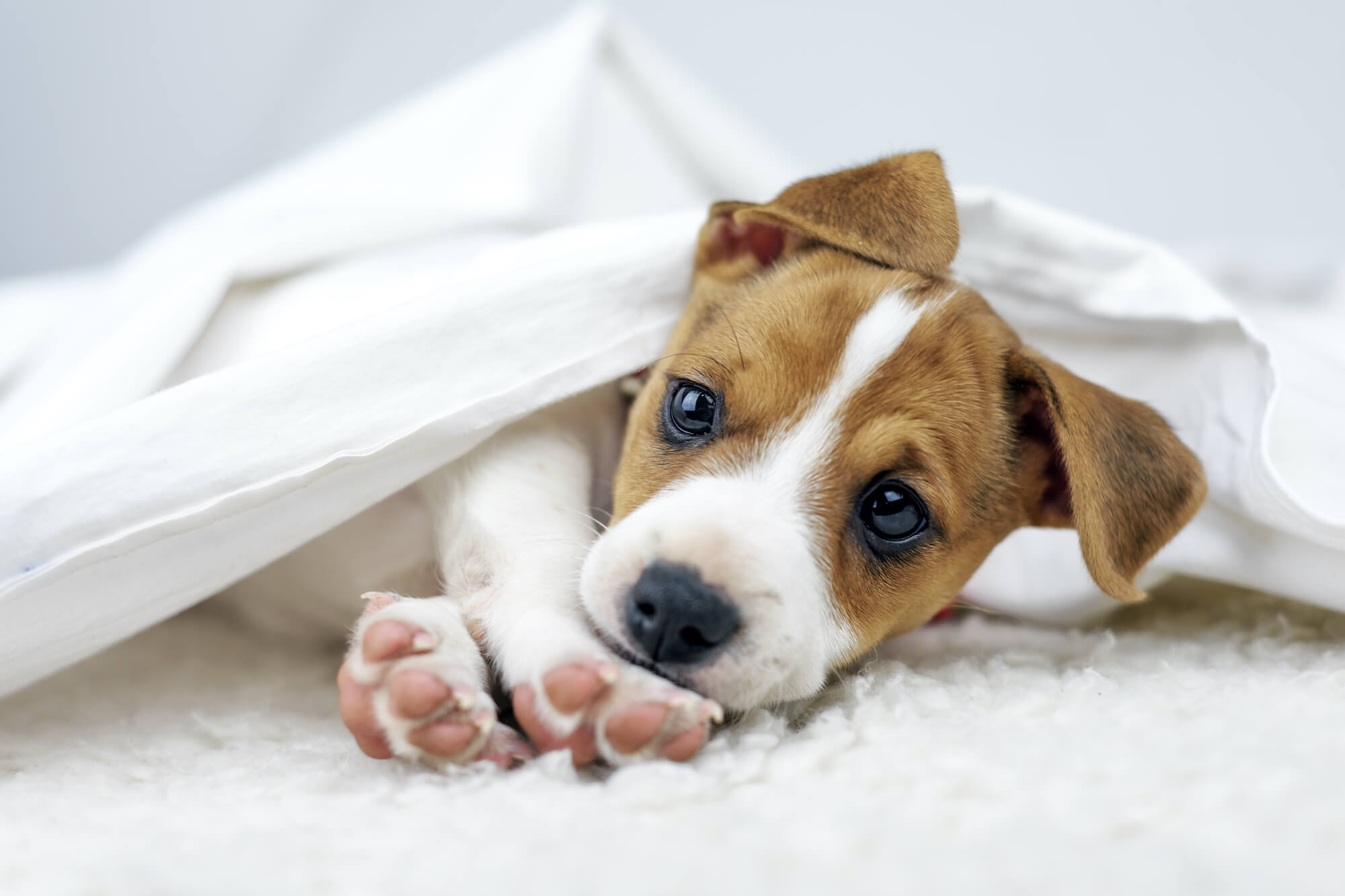 jack-russel-terrier-puppy-PVYUD2A