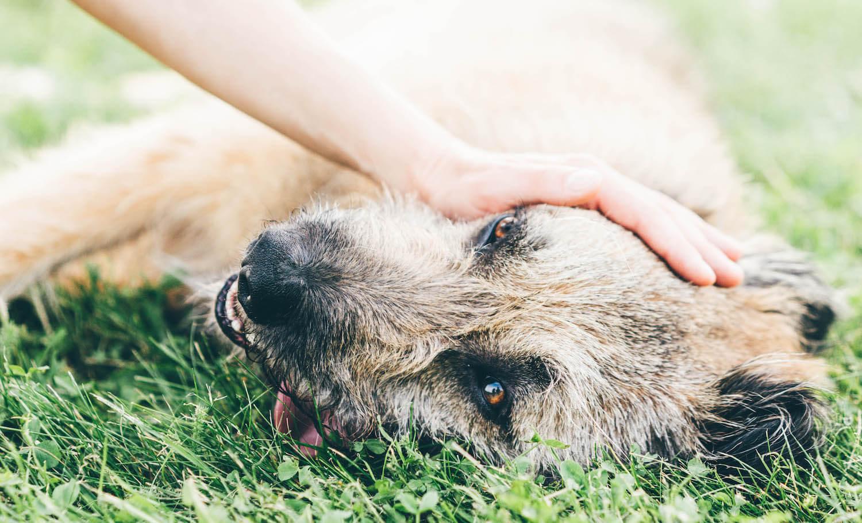 panting-dog-resting-in-the-field-U956L7N