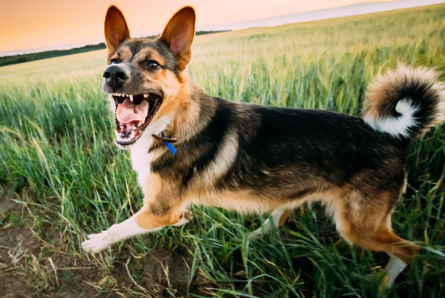 running-barking-angry-mixed-breed-dog-WVM7YGL