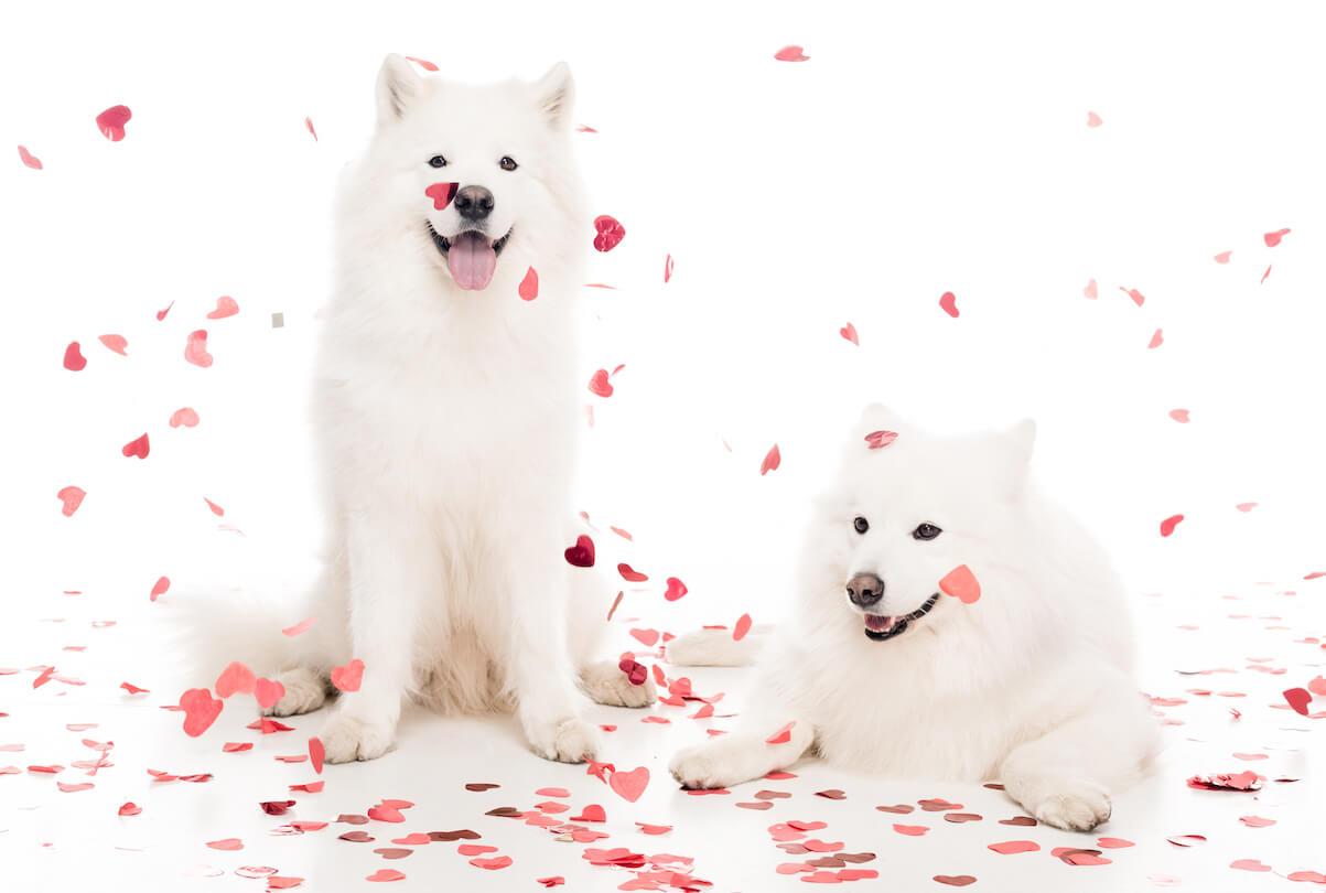two-samoyed-dogs-under-falling-heart-shaped-confet-ZYSHYK5