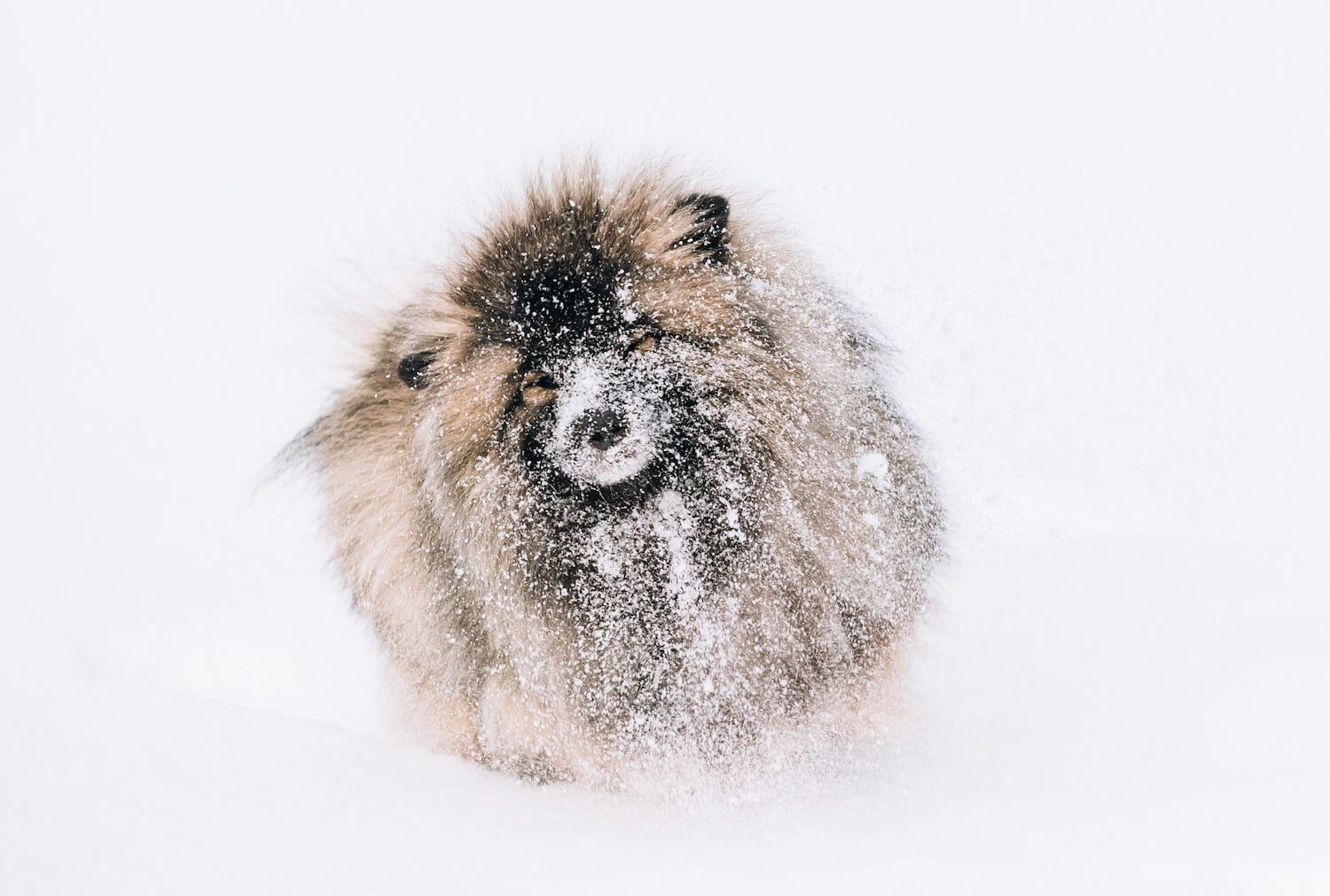 young-keeshond-keeshonden-dog-play-in-snow-winter-PEUCHKN