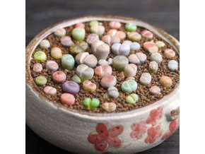 Kvetoucí živé kameny Lithops Pseudotuncatella 100 semínek