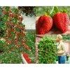 Velké převislé hrnkové jahody 200 semínek